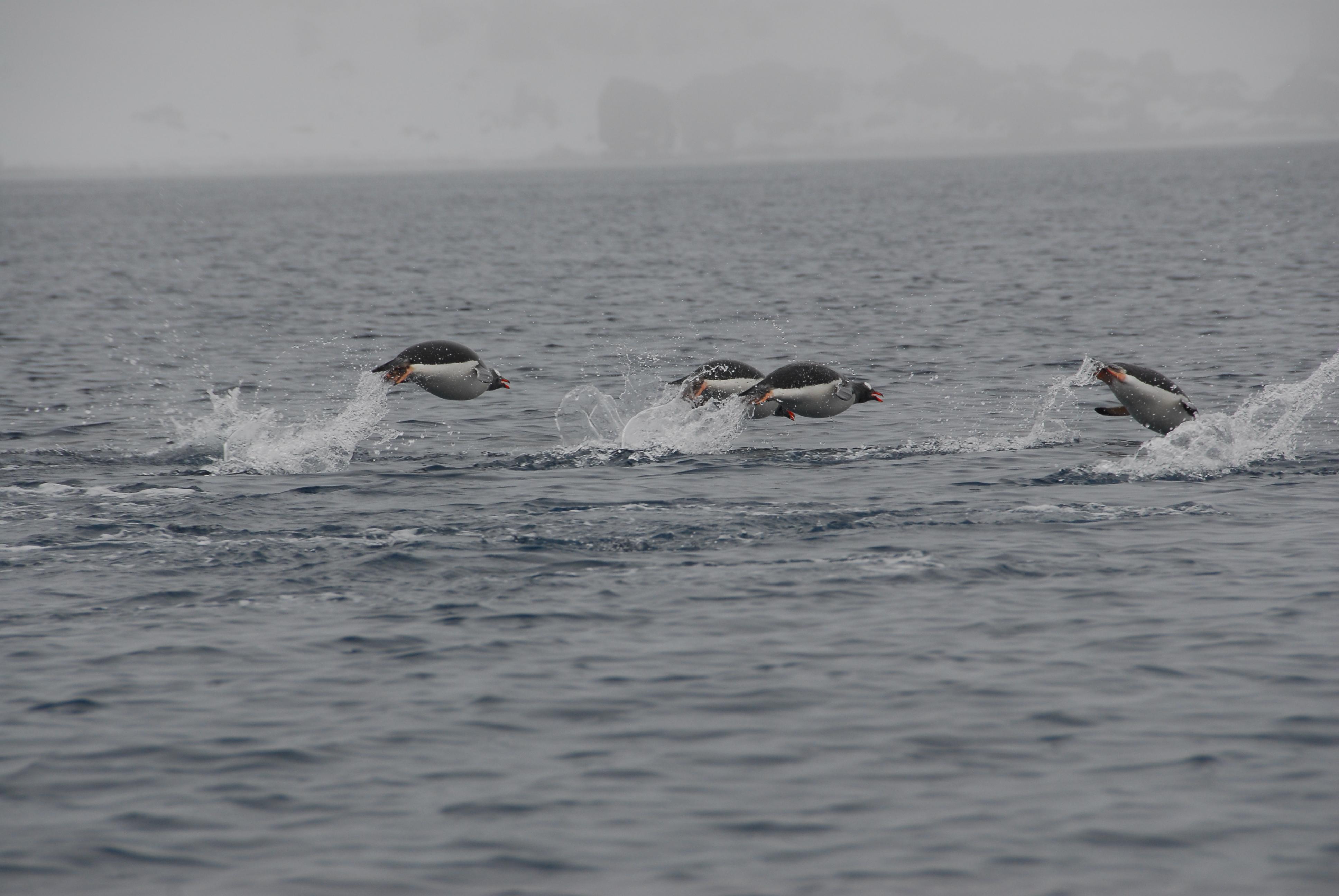 Tis the season for penguins girl from the hills blog for How do fish breathe underwater