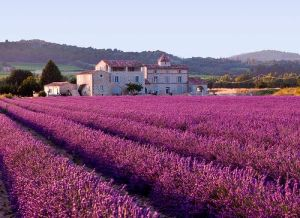 800px-Lavender_field_large
