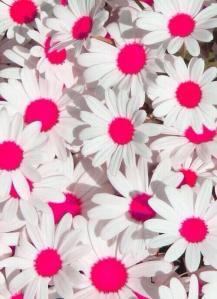 daisiespink